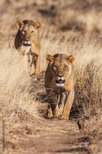 Papiers peints Hyène Two lionesses approach, walking straight towards the camera