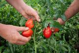 pomodori nell