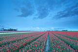 red tulip field in the dusk