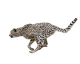 Cheetah (Acinonyx jubatus) Running