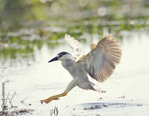 Poster Black-crowned Night Heron