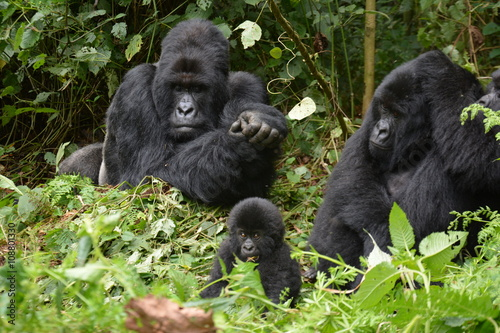 Poster Gorillababy beim Spielen