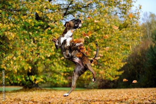 Poster Boxer im Sprung