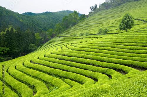 Fototapeta Green tea plantation in South Korea