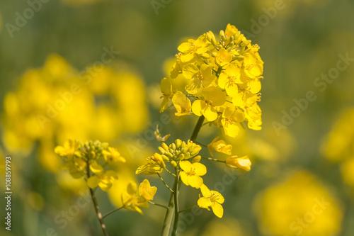 Fototapeta Raps (Brassica napus) Blüte im Frühling - Querformat