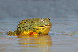 Male African giant bullfrog (Pyxicephalus adspersus) in shallow water, South Africa.