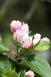 Obrazy na płótnie, fototapety, zdjęcia, fotoobrazy drukowane : blossom of an appletree