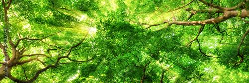 Panel Szklany Sonnenstrahlen leuchten durch Blätterdach hoher Bäume