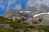 Kühe auf der Bergalm
