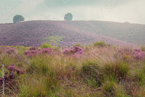 Morning at the heather fields - 108990799
