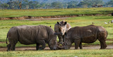 Two rhinoceros fighting with each other. Kenya. National Park. Africa. An excellent illustration.