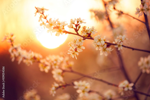Fototapeta Spring blossom background. Beautiful nature scene with blooming tree and sun flare