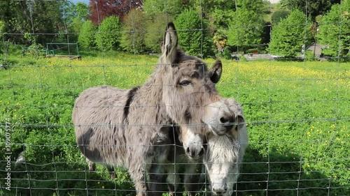 Zdjęcia na płótnie, fototapety, obrazy : Curious donkeys on green meadow in Italy
