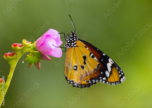 Deurstickers Vlinder Beautiful Plain Tiger butterfly (Danaus chrysippus) perching on flower.