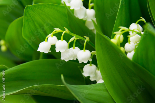 Obraz na Plexi Lily of the valley, which bloom in the garden
