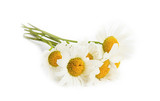 Camomile flowers isolated on white