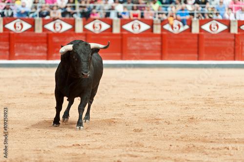 black bull on the sand in motion