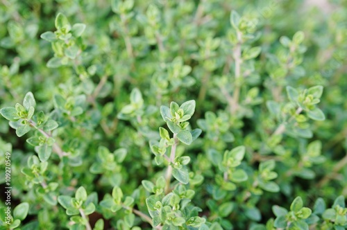 Thyme plant growing in the herb garden