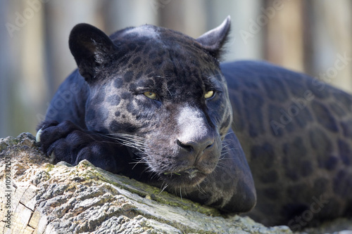 portrait, Jaguar Panthera onca, black form