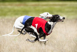 Two Sighthounds lure coursing competition. First flight phase of