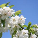 ramo di melo in fiore con cielo azzurro