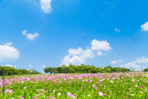 月見草の花と青空