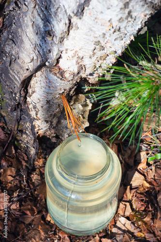 Birch SAP dripping into the jar . Sibir ,Yugra.