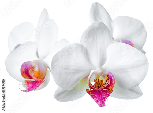 beautiful blooming twig of white with red orchid is isolated on