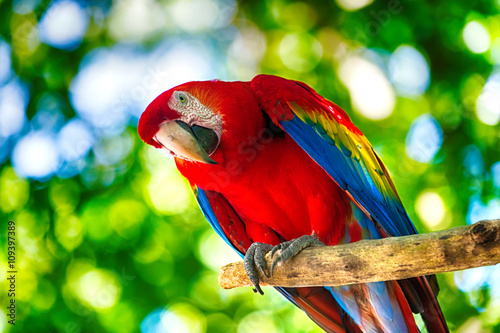 Red ara parrot outdoor
