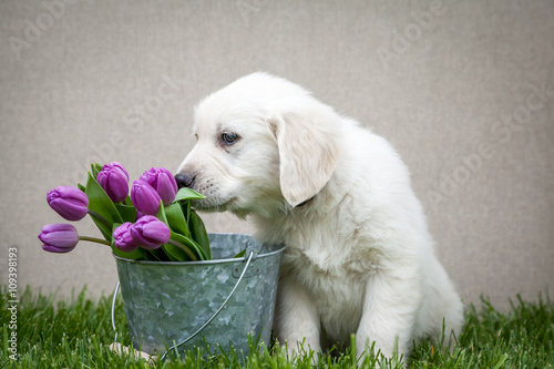Poszter Golden retriever puppy with purple tulips