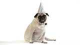 A cute pug dog sits facing camera wearing a birthday party hat.