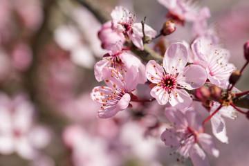 Fleur d'arbre au printemps