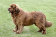 Typical  Brown Newfoundland  dog in the park