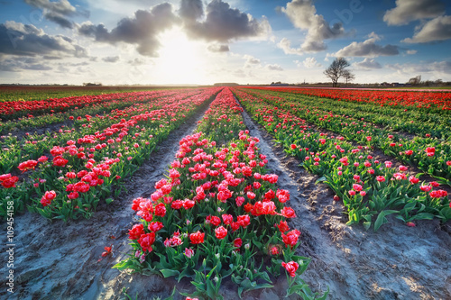 Fotobehang Tulpen red tulip field and bright sunshine in spring