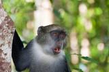 Scimmia grigia di Zanzibar.