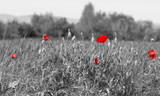 coquelicot rouge sur fond noir et blanc - 109467199