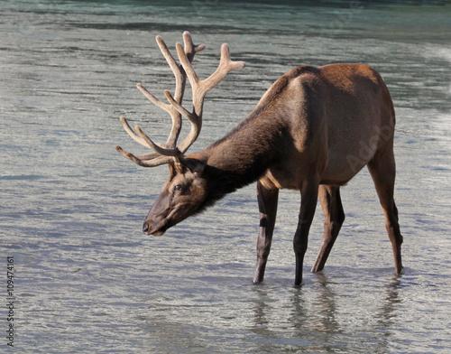 Poster A shot of a bull Elk (Cervus canadensis)