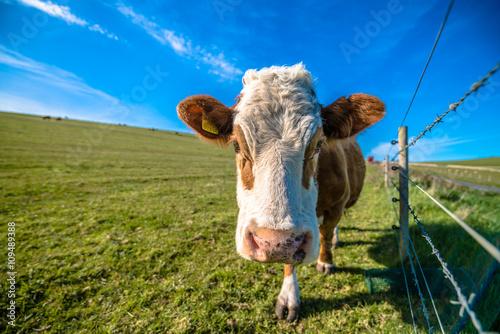 Aluminium Cow on green grass