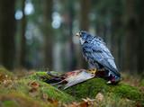 Bird of prey Peregrine Falcon (Falco peregrinus)