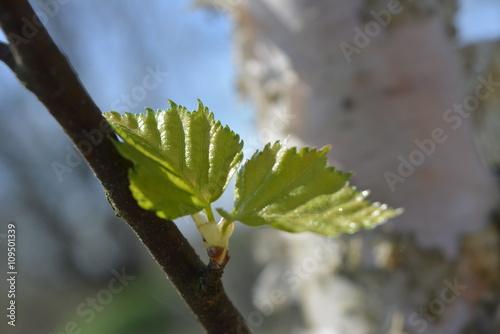 Zdjęcia na płótnie, fototapety, obrazy : Молодые листья березы