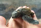 Small newborn sea turtle