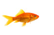 Single Goldfish seen from the side isolated on a white background