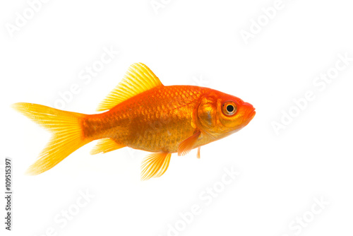 Wall mural Single Goldfish seen from the side isolated on a white background