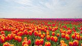 Tulips in a field in spring below a blue cloudy sky