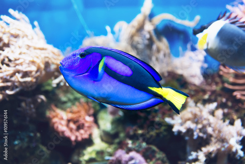 Blue tang fish swimming in a tank