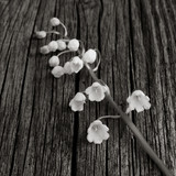 white flower Lily of the valley on old gray wooden board was cracked. Selective focus. square photo. black and white image
