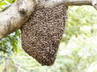 Swarm of honey bee clinging on tree