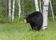 Black Bear in Birch Trees