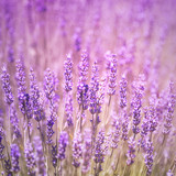 Sunny violet color flowering lavender flower plants closeup background. Square composition used.