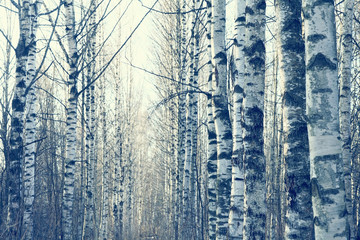 March landscape birch forest background © kichigin19